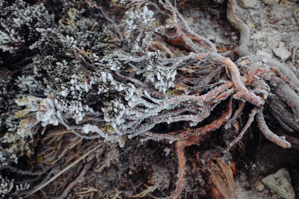 Frosted Himalayan Juniper